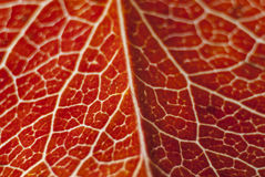 Red pattern leave. Macro, close up Royalty Free Stock Images