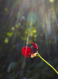 Red pea flower with sunrays. Beautiful red Siratro pea flower in bright sunrays Stock Photography