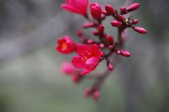 Red peach blossom in full bloom.  Royalty Free Stock Image