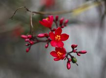 Red peach blossom in full bloom.  Stock Photo