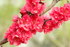 Red peach flowers royalty free stock photos