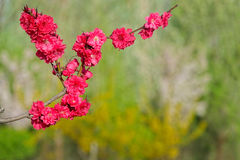 Red peach flowers Stock Photo