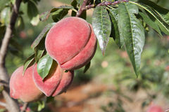 Red Peaches on Tree Royalty Free Stock Photos