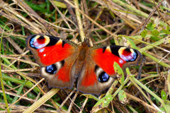 Red peacock butterfly (aglais io) Royalty Free Stock Images