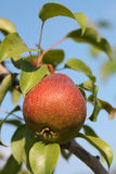 Red pear on branch. Crop. Summer royalty free stock photo