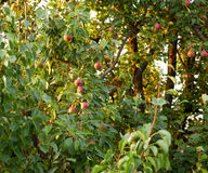 Red pear yield Stock Image