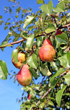 Red pears on a branch Royalty Free Stock Photo