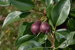 Red Pears on the tree Royalty Free Stock Images