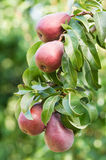 Red pears in a tree Stock Photo