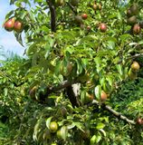 Red pears on tree branches Royalty Free Stock Photography