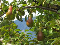 Red pears on tree branches Royalty Free Stock Photos