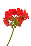 Red pelargonium Royalty Free Stock Photography