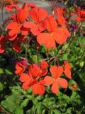 Red pelargonium Royalty Free Stock Photography