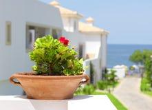Red pelargonium in clay pot Royalty Free Stock Photo