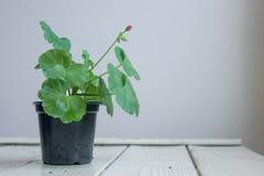 Red pelargonium flower, geranium, known as storksbills, home plant. Red pelargonium flower, geranium, home plant in black pot Stock Images