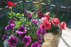 Red pelargonium flower and pink and purple petunia flowers on the balcony in the evening sun. Flower pots wrapped in kraft paper. Gardening Tools. Landscape stock photos