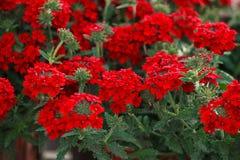 Red pelargonium (geranium) flower. Blooming in a garden stock photos
