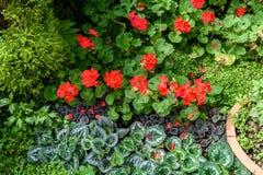 Red pelargonium geranium flower. Blooming in a garden royalty free stock photo