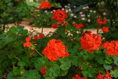 Red pelargonium geranium flower. Blooming in a garden royalty free stock photos