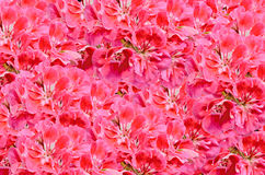 Red Pelargonium, Geraniums flowers with buds, close up, texture background Stock Images