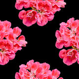 Red Pelargonium, Geraniums flowers with buds, close up, texture background Stock Photo
