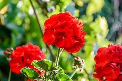 Free Red Pelargonium, Geraniums Flowers, Close Up, Green Bokeh Blur Royalty Free Stock Photo - 106381575