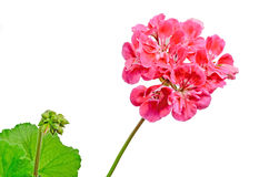Red Pelargonium, Geraniums flowers, close up, white background Royalty Free Stock Photography