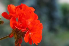 Red Pelargonium Stock Images