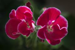 Red pelargonium zone , petals with a white border on a dark background. stock photography