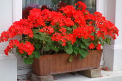 Red Pelargoniums in Window Box. Bright red pelargonium flowers in terracotta window box perched on bricks on white window ledge Royalty Free Stock Photos
