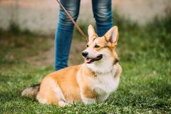 Red Pembroke Welsh Corgi Dog Sitting In Grass.  Stock Photography