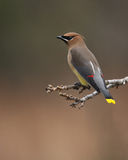 Red Pens (Cedar Waxwing) Royalty Free Stock Photos