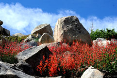 Red Penstemon and rocks. Red Penstemon wildflowers bloom on rocky hillside stock photo