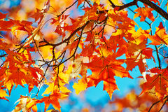The red pentagon maple leaves autumnal Stock Photos