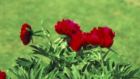 Red peone flowers. Swing on the wind outdoor stock footage