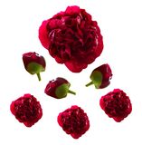 Red Peonies Royalty Free Stock Photos