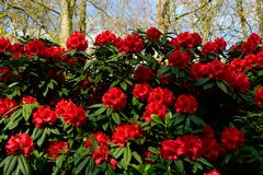 Red peonies close up in Holland , spring time flowers in Keukenhof. Beauty royalty free stock photography