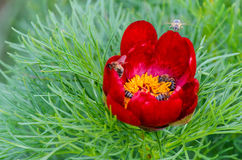 Red peonies flower in Steppe Reserve at Zau de Campie, Mures county, Transylvania, Romania. Steppe Reserve at Zau de Campie, Mures county, Transylvania royalty free stock image