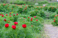 Red peonies flower in Steppe Reserve at Zau de Campie, Mures county, Transylvania, Romania. Steppe Reserve at Zau de Campie, Mures county, Transylvania royalty free stock photography