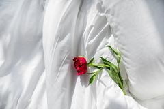 Red peonies flowers on bed royalty free stock photos