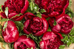 Red peonies in vase. retro styled photo. close-up Stock Images