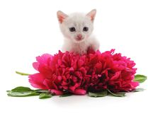 Red peonies and white cat. stock photography
