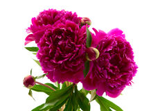 Red peony Royalty Free Stock Images