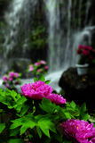 Red peony 2. Red peony beside the waterfall stock image