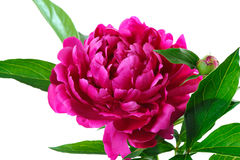 Red peony Stock Photography