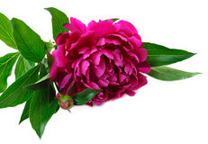 Free Red Peony Royalty Free Stock Images - 24173989