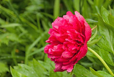 Red peony Royalty Free Stock Image