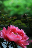 Red peony  with black background. Single red peony with green background Stock Photography