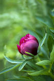 Red peony bud Royalty Free Stock Image