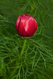 Red peony bud Royalty Free Stock Photography